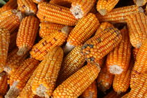 Zea mays-Corn-Batar-Corn7-Luke Simmons