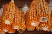 Zea mays-Corn-Batar-Corn4-Luke Simmons
