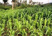 Zea mays-Corn-Batar-Corn plants-Luke Simmons