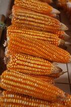 Zea mays-Corn-Batar-Corn5-Luke Simmons