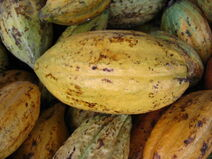 Theobroma cacao-Cocoa-Shokolat-Cocoa7-Luke Simmons
