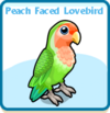 Peach faced lovebird card