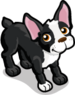 Boston Terrier single