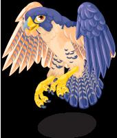 Peregrine falcon single