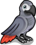 African Grey Parrot single