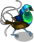 Ribbon tailed astrapia an