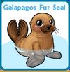 Galapagos fur seal card