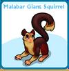 Malabar giant squirrel card