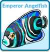 Emperor angelfish card