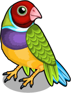 Gouldian finch single