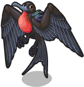 Frigatebird single