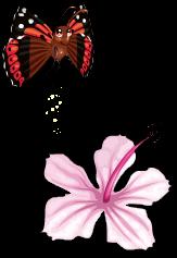 Kamehameha butterfly an