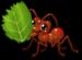 Leaf cutter ant single