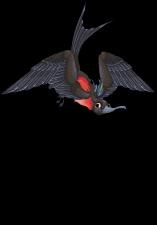 Frigatebird an
