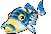 Picasso triggerfish single