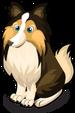 Shetland Sheepdog single