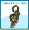 Tufted capuchin card