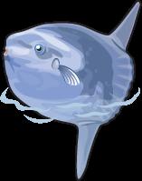 Ocean Sunfish single