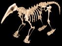 Anteater skeleton static