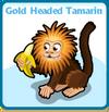Gold headed tamarin card