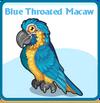 Blue throated macaw card