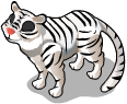 White siberian tiger an