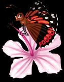 Kamehameha butterfly static