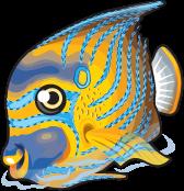 Blue ring angelfish single