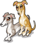 Italian greyhounds single