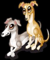 Italian greyhounds single