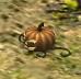 Pumpkin Bomb