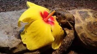 Russian tortoise eating a hibiscus flower