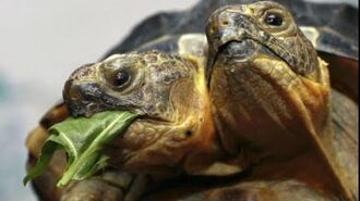 Two Headed Turtle Discovered