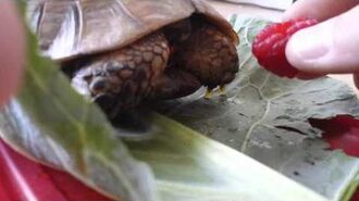 Tortoise eating his first raspberry