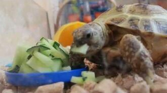 Turtle eats cucumbers
