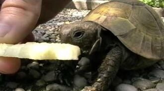Turtle eating apple
