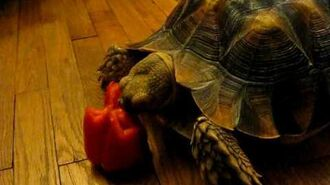 Sulcata Tortoise eating a Red Bell Pepper (Johari)