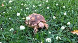 Baby Tortoise Eating Flowers