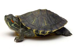 Baby-Red-Ear-Turtle-Pic
