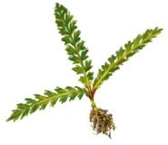 Saronia's plant