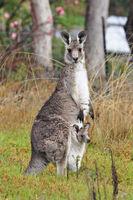 250px-Kangaroo and joey03