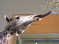 242px-Giraffe