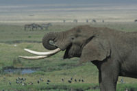 200px-Tanzanian Elephant
