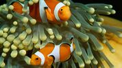 clown-anemonefish-tentacles.ngsversion.1470600539619.adapt.1900.1