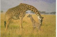 225px-Giraffewithbaby