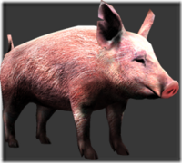 Pig thumb
