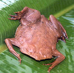Common Suriname Toad