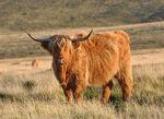 High Land Cattle