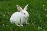 Florida White Rabbit