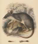Northern Sulawesi Spiny Rat